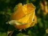 lxf63-rose-1.jpg
